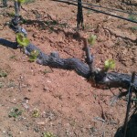chardonnay bud break 3-18-13