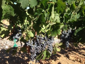 Table grapes vs wine grapes reyes winery - Table grapes vs wine grapes ...
