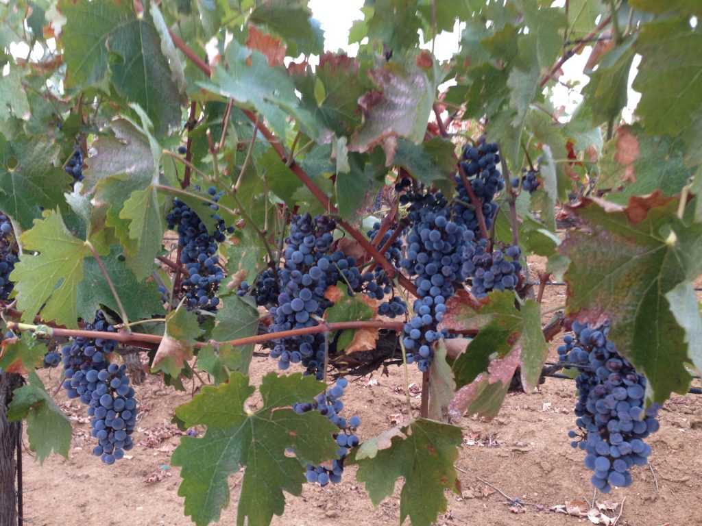 Reyes winery our winery is located at 10262 sierra highway santa clarita california - Table grapes vs wine grapes ...